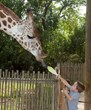 A young guest and giraffe share a moment together during the hand-feeding experience.