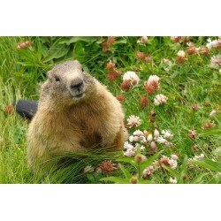image of a groundhog sitting in grass