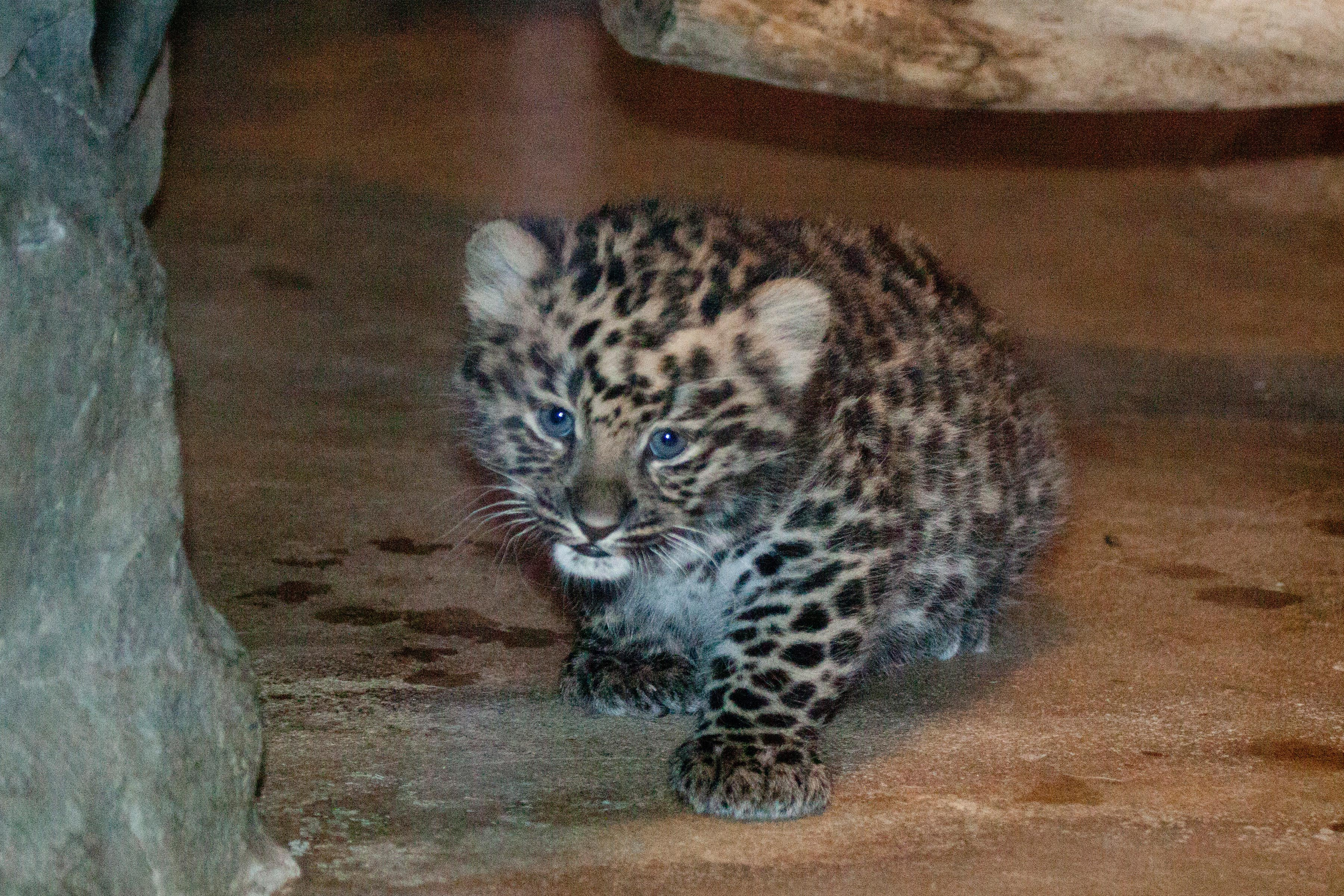 Denver Zoo Welcomes Birth of Extremely Endangered Amur ...