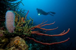 diver-on-bonaire-reef-with-sponges