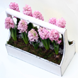 Planted hyacinth gift