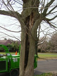 Tree with large cavity in the trunk is dead and removal is required