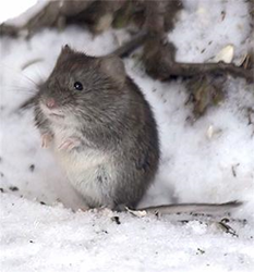Voles aka Meadow Mice damage lawns, trees and shrubs.