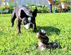 Rattlesnake_Avoidance_Training_K9_Dog_Park_Escondido_California
