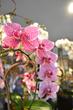 richardson orchid, dallas orchids, plano orchids, plano florist