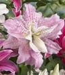 Win $150 towards Bulbs such as this lily, Soft Music, from Longfield Gardens