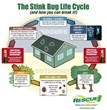The Stink Bug Lifecycle