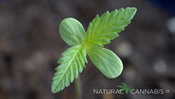 Natural Cannabis Company seedling