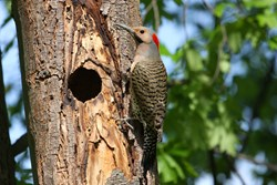 Woodpeckers, woodpecking, drumming, tree damage