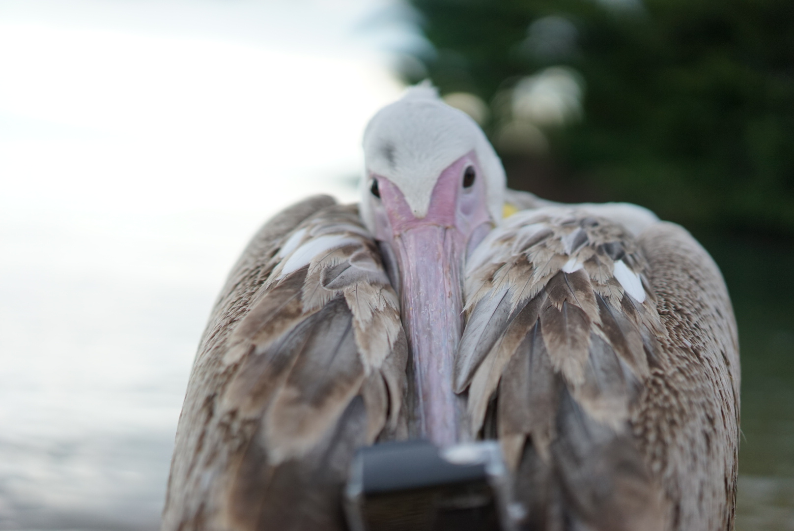 World\'s First Pelican Selfie Taken on a GoPro Supports Absolute ...