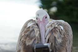 The videographer:  Big Bird