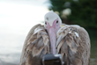 World's First Pelican Selfie Taken on a GoPro Supports Absolute...