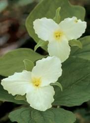white trillium blooms