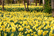 """Gibbs Gardens' rolling hillsides provide a dramatic backdrop for """"fields of gold""""."""