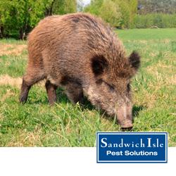 feral pigs in honolulu