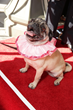 "Precious the Pug from ""The Nut Job"" on the red carpet courtesy of Open Road Films"
