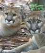 Naples Zoo and Conservation Partners Celebrate Save the Panther Day on...