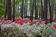Callaway Gardens Overlook Azalea Garden