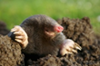 Repel moles, gophers and other burrowing animals with Sweeney's Dual Action Mole & Gopher Repellent.