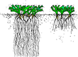 Efficient Plant and Roots