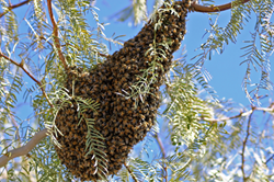 Senske Services, Pest Control, Africanized Honey Bees, Killer Bees, Las Vegas, Nevada