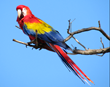 Scarlet Macaws Return to Manuel Antonio, Costa Rica