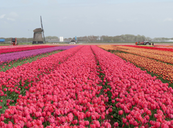 Visit Holland in April to View the Tulips