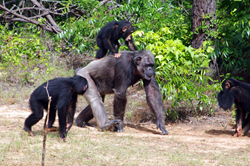 A photo of Chimp Haven