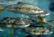 First Baja Farmed Yellowtail Introduced to U.S. Market