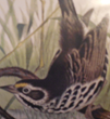 Robert Ridgeway 1873 Black and White Sea- Side Finch: Rush Plant: The only place on earth this bird inhabited was the salt marshes of Eastern Florida near Heade's home.