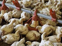 Broiler chicken farm