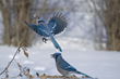 Amateur Photog's Blue Jay Pix Wins USDA Photo Contest