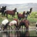Wild horse herds live in Sweetwater County, Wyo.