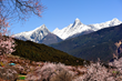 Beautiful scenery of peach blossoms with snow-capped mountains in background