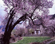 The peach blossoms make Nyingchi a romantic place for dating.