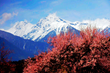 Travel to Tibet in April, you will see beautiful scenery of peach blossoms with snow-capped mountains in background.