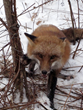 Red Fox in Trap