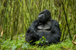 Rwanda Mountain Gorilla copyright Richard Denyer