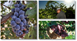 the complete grape growing system program