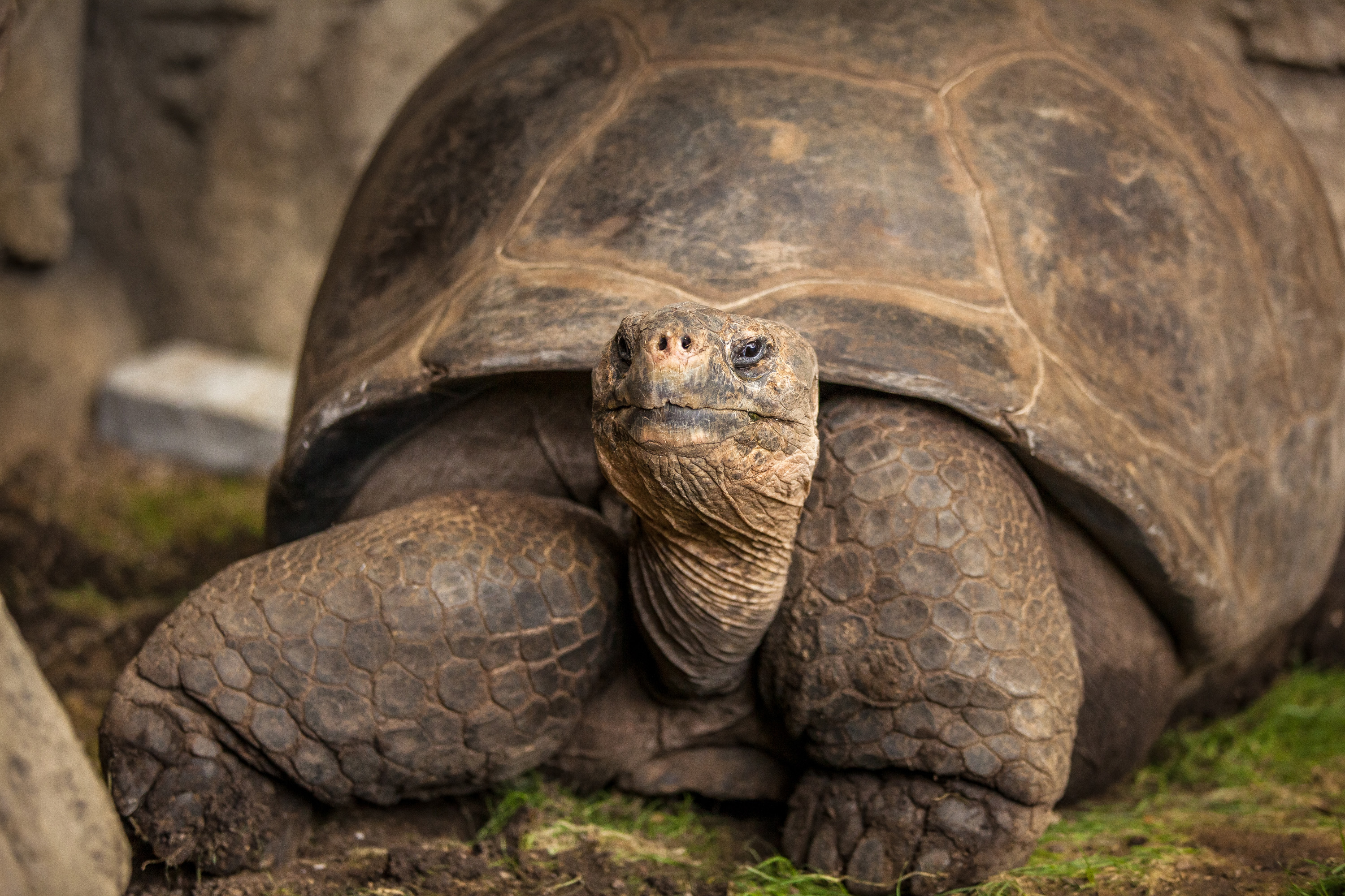 See Bravo The Galapagos Tortoise Before He S Galapa Quot Gone Quot