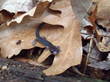 Salamanders shrinking as their habitat gets hotter, drier