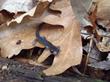 Salamanders shrinking as their habitat gets hotter, drier