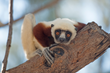 New IMAX Film at Maritime Aquarium Champions Efforts to Save Lemurs