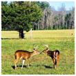 deer touching noses