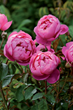 New for Spring 2014: Five Fabulous David Austin English Roses
