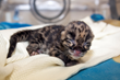 Denver Zoo Welcomes First Clouded Leopard Births