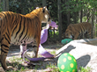Malayan tigers tear into their meat-filled giant Easter eggs in Naples Zoo at Caribbean Gardens.