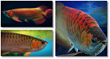 arowana secrets revealed