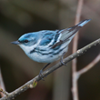 Photo Courtesy of the West Virginia Department of Commerce.   Many migratory birds such as this Cerulean Warbler can be seen during guided bird walks in West Virginia state parks in the spring.