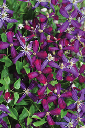 Finally, a sweet autumn clematis that flowers in beautiful violet tones